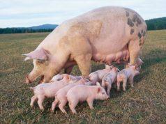 Истинное предназначение свиньи